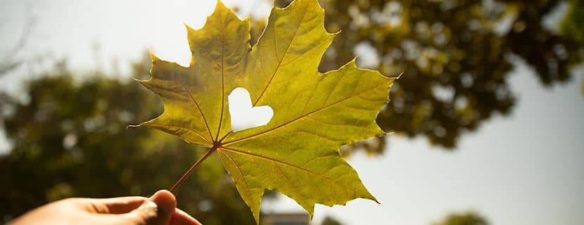 maple leaf with heart cutout