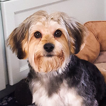 Dog, Maltese-Poodle-Yorkshire Terrier mix